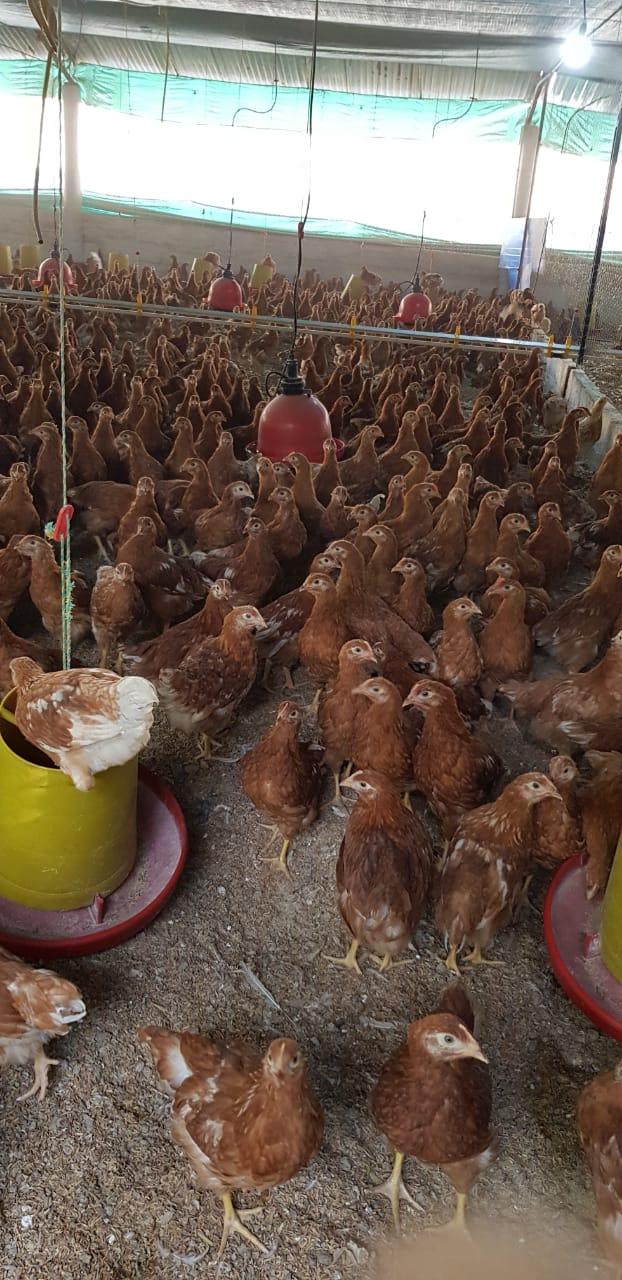 Pollas de levante