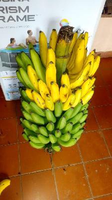 Banano criollo de primera calidad producto de agricultura más limpia en presentación por kilogramo o racimo