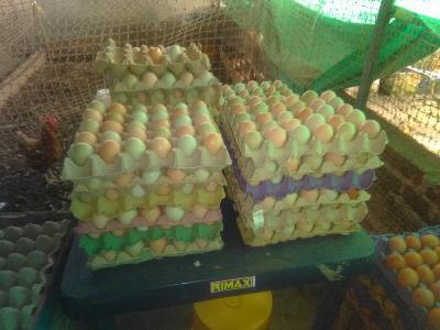 Avicola San Sebastian, venta de huevo semicriollo en panal de 30 unidades