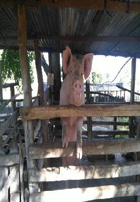 Cerdo Precebo