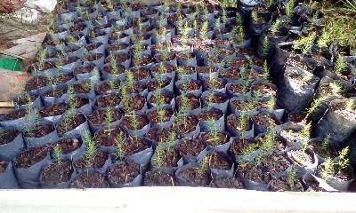 Plantulas De Esparrago