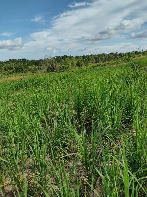 Oferta de 1 Hectarea de arroz en el Corregimiento de Buenavista, Municipio de San Marcos Sucre