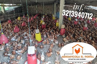 venta de aves ponedoras de 16 semanas