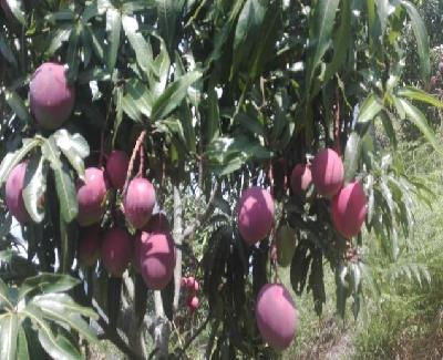 Mango tommy / kilo